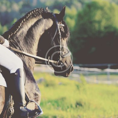 Are Riders Too Heavy for Their Horses?